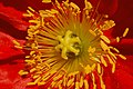 Iceland Poppy Papaver nudicaule 'Champagne Bubbles' Red Closeup.jpg