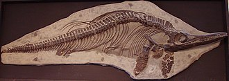 Charmouth - Ichthyosaur fossil from Charmouth