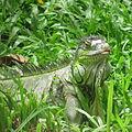 Iguana@Bannergatta.JPG