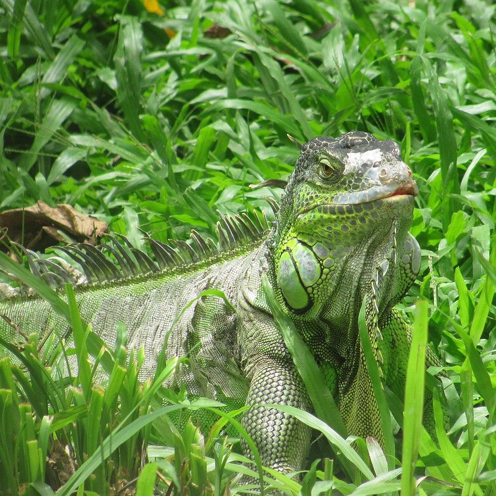 Iguana@Bannergatta