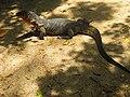 Iguana on the Koh Rok island - panoramio.jpg