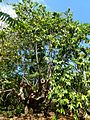 Ilang-ilang Nosy Be Madagascar - panoramio.jpg