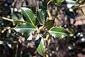 Ilex aquifolium Ciliata Major 0zz.jpg