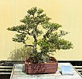 Ilex vomitoria 'Schilling's Dwarf' - Morikami Museum and Japanese Gardens - Palm Beach County, Florida - DSC03478.jpg