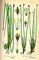 Illustration Eleocharis palustris0.jpg