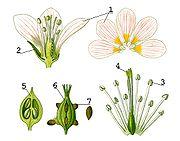 Morphologie de la fleur d'Oxalis acetosella. 1: pétale, 2: sépale, 3: anthère, 4: stigmate, 5: ovaire, 6: fruit, 7: graine.