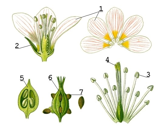 Illustration Flower anatomy1