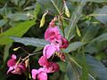 Impatiens glandulifera.3epo.Post.JPG