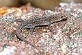 Indian Day gecko Cnemaspis indica.jpg