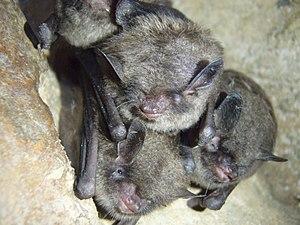 d1f5a075aa3 Indiana bats at a hibernaculum