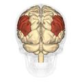 Inferior parietal lobule - posterior view.png
