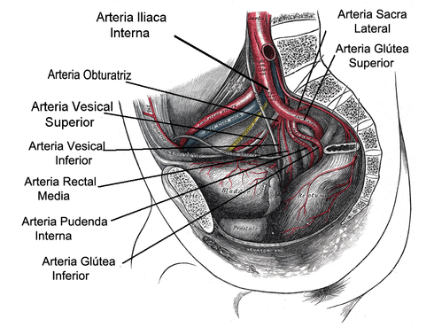 Arterias vesicales superiores - Wikiwand