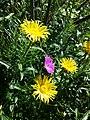Inula hirta + Geranium sanguineum sl1.jpg