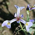 Iris versicolor - blue flag 0140.jpg