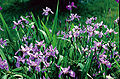 Iris versicolor quebec 2.jpg