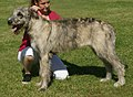 Irish Wolfhound brindle 2.jpg
