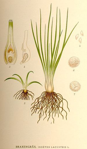 Fern ally - Isoëtes lacustris, a quillwort, from the Isoetopsida