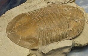 Isotelus brachycephalus
