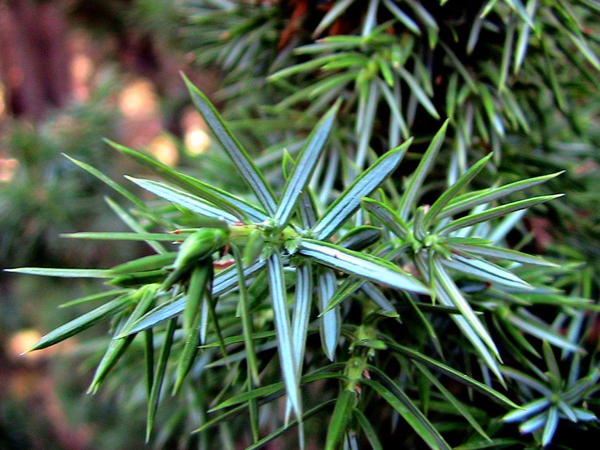 Juniperus Oxycedrus Wikimedia Commons