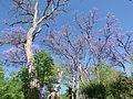 Jacarandas en el Jardín de San Marcos, Aguascalientes 01.JPG