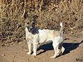 Jack Russell Terrier 3.jpg