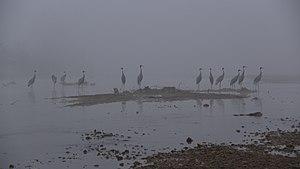 Jagdishpur Reservoir - A group of sarus cranes (Grus antigone) at Jagdishpur Reservoir