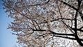 Japan Blossom Sky (14102134041).jpg