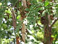 Jasminum grandiflorum.jpg