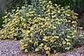 Jerusalem sage Phlomis fruticosa IMG 8579.jpg