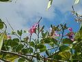 JfBauhinia purpureaCabiaofv 02.JPG