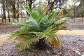 Jubaea chilensis - McConnell Arboretum & Botanical Gardens - DSC02959.JPG
