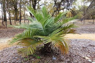 McConnell Arboretum & Botanical Gardens - Jubaea chilensis specimen