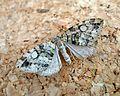 July Highflier^ Hydriomena furcata. - Flickr - gailhampshire.jpg