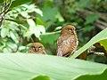 Jungle Owlet Couple.jpg