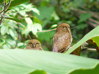 Jungle owlet - G. r. malabaricum from Kerala