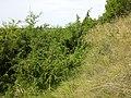 Juniperus communis subsp. communis sl4.jpg
