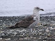 Juvenile black backed gull.jpg