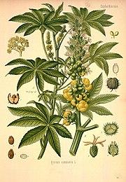 клещевина растения фото