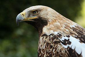 Östlicher Kaiseradler (Aquila heliaca)