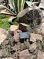Kalanchoe delagoensis - Kunming Botanical Garden - DSC03054.JPG