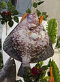 Kalkan Balığı - Scophthalmus maeoticus.jpg