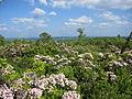 Kalmia latifolia Sproul State Forest.jpg