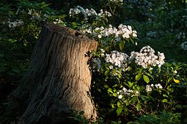Kalmia latifolia in early morning light.jpg