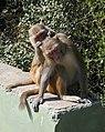 Keoladeo National Park-Singes (2).jpg