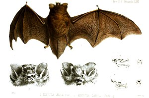 Kerivoula aerosa & Kerivoula lanosa, Proceedings of the Zoological Society of London 1858