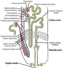 Искривление позвоночника в сторону - сколиоз, нередко развивающийся у школьников, - связан с возрастными...
