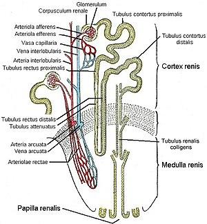 Túbulo proximal