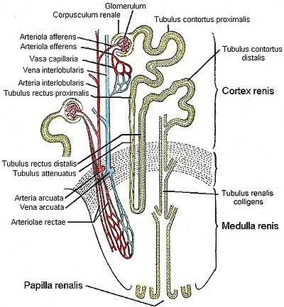Feinbau der Niere, schematisch.