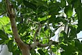 Kigelia africana 2zz.jpg