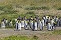 King penguin (Aptenodytes patagonicus) - Parque Pinguino Rey 01.jpg